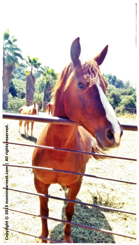 Why horse riding lessons? A handsome chestnut horse with stripe marking at the ranch looking right at you!