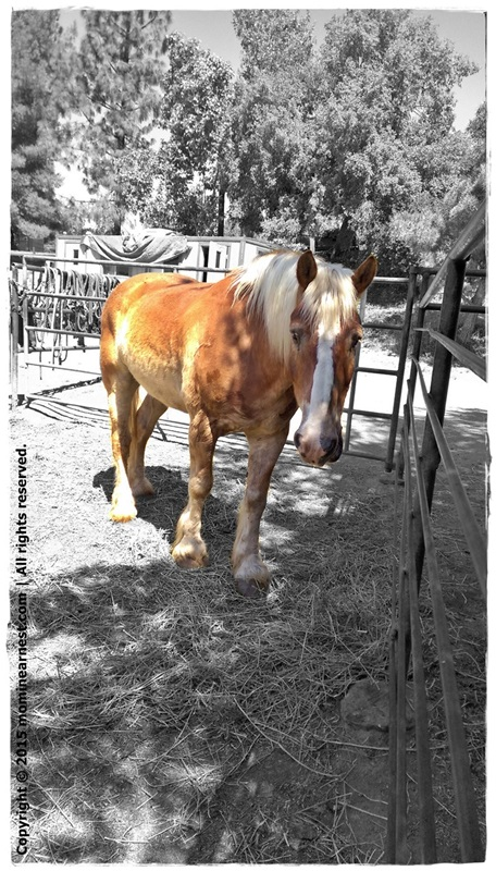 Why horse riding lessons? Palomino horse with white stripe against black and white background of the ranch.