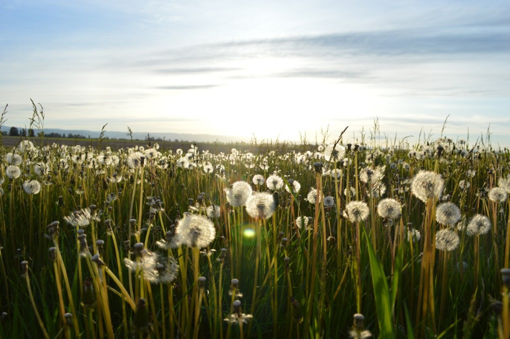 Emotions and Problem Solving: a field of dandelion in bloom.